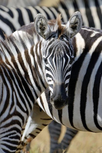 Zebra auf grünland in afrika, nationalpark von kenia Kostenlose Fotos