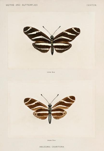 Zebra-langflügel (heliconia charitonia) aus motten und schmetterlingen der vereinigten staaten Kostenlose Fotos