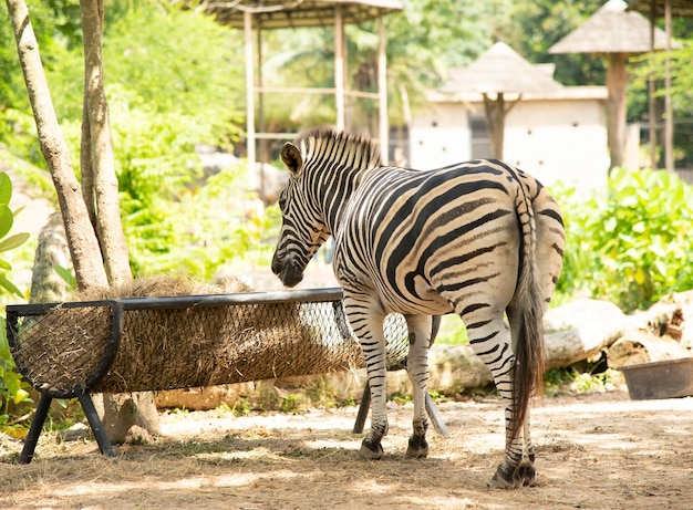 Zebra Premium Fotos
