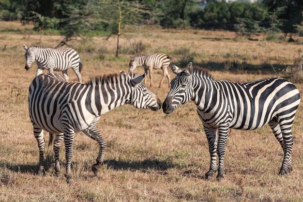 Zebras im grasland Kostenlose Fotos