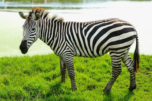 Zebras stehen auf dem rasen. Premium Fotos