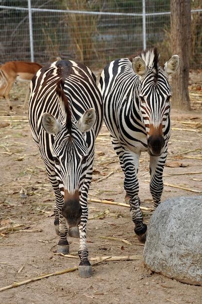 Zebras Premium Fotos