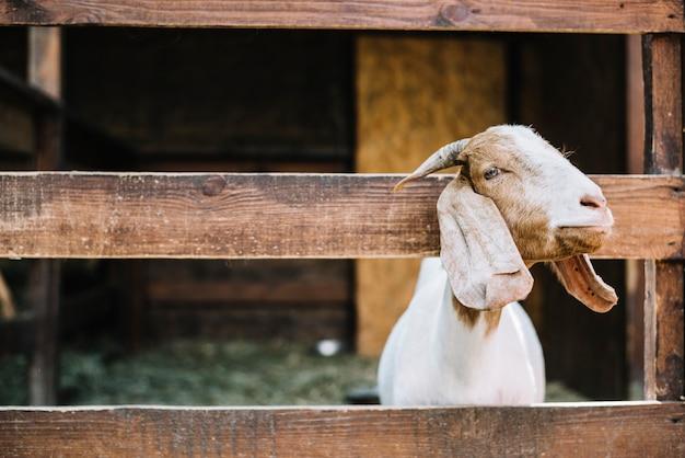 Ziege, die kopf vom bretterzaun späht Kostenlose Fotos