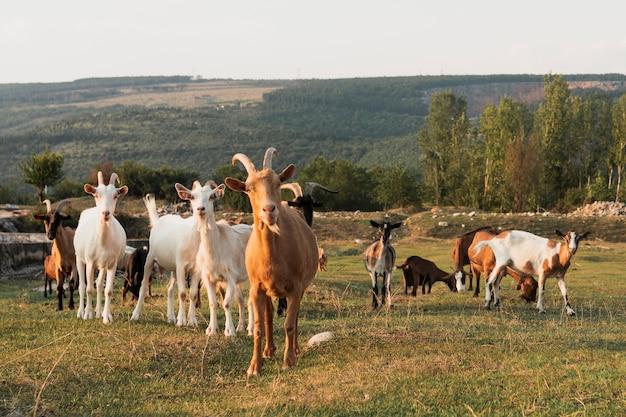 Ziegen, die auf der wiese stehen und kamera betrachten Kostenlose Fotos