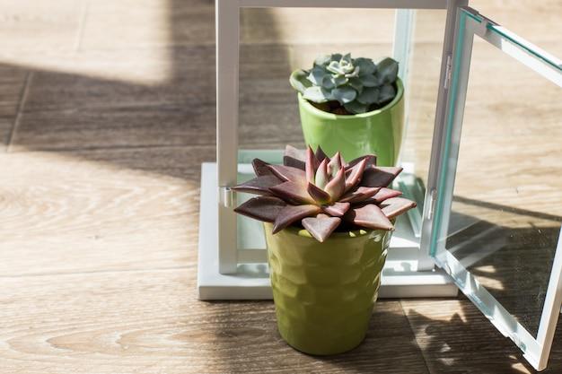 Zimmerpflanzen. sukkulenten Premium Fotos