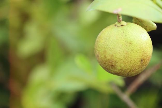 Zitronenbaum in tropischen Premium Fotos