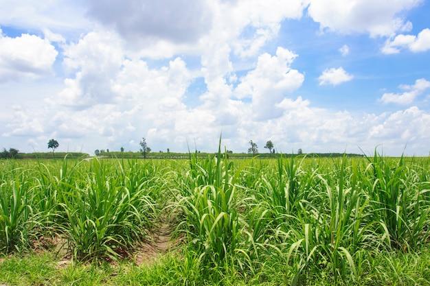Zuckerrohrfeld im blauen himmel in thailand Premium Fotos