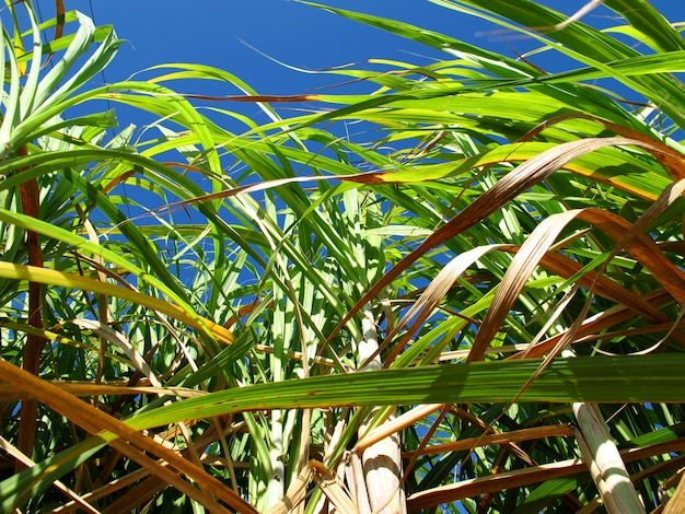 Zuckerrohrplantage in kuba Premium Fotos