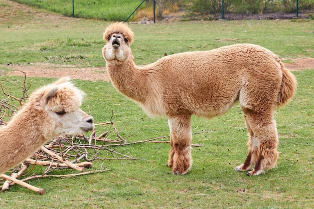 Zwei alpaka, lama oder lama auf einem grünen gras auf einer wiese. nutztiere. Premium Fotos