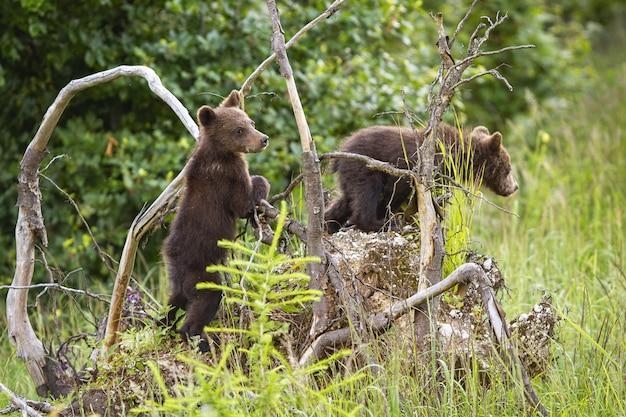 Zwei braunbärenjungen, die entwurzelten baum im wald klettern Premium Fotos