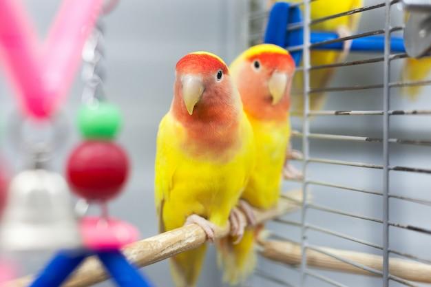 Zwei bunte lovebirds. rote und gelbe farben. tropische haustiere Premium Fotos