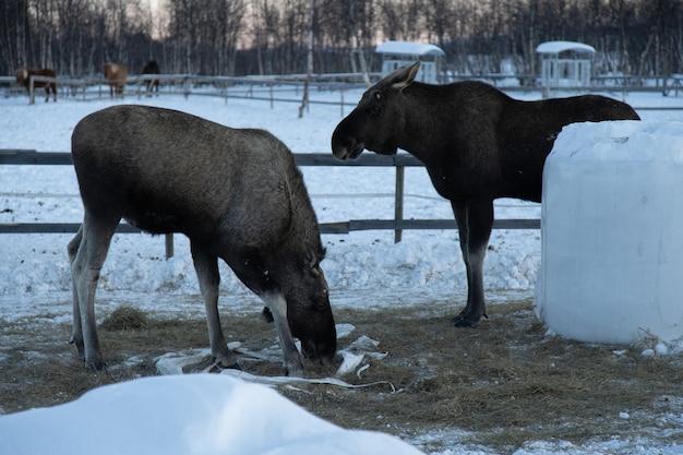 Zwei elche fressen heu in nordschweden Kostenlose Fotos