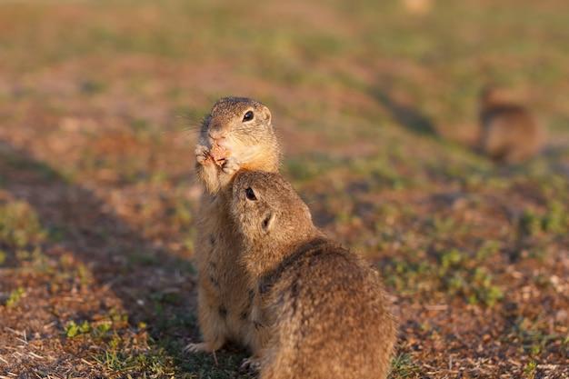 Zwei europäische grundeichhörnchen, die im feld stehen. spermophilus citellus wildtierszene aus der natur. zwei europäische sousliks essen auf der wiese Premium Fotos