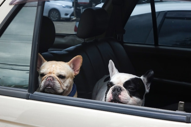 Zwei französische bulldogge warten im auto, hunde reisen Premium Fotos