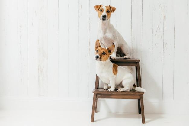 Zwei freundliche stammbaumhunde, sitzen auf dem stuhl, getrennt über weiß Premium Fotos