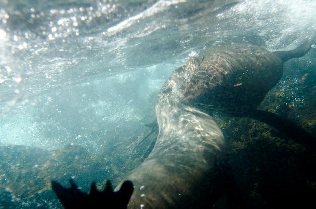 Zwei galapagos-seelöwe (zalophus-californianus-wollebacki) schwimmend unter wasser, darwin-bucht, genovesa-insel, galapagos-inseln, ecuador Premium Fotos