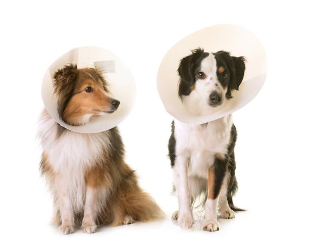Zwei hunde und schutzhalsband Premium Fotos