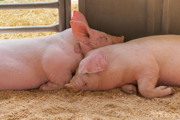 Zwei junge schwein zusammen. Premium Fotos