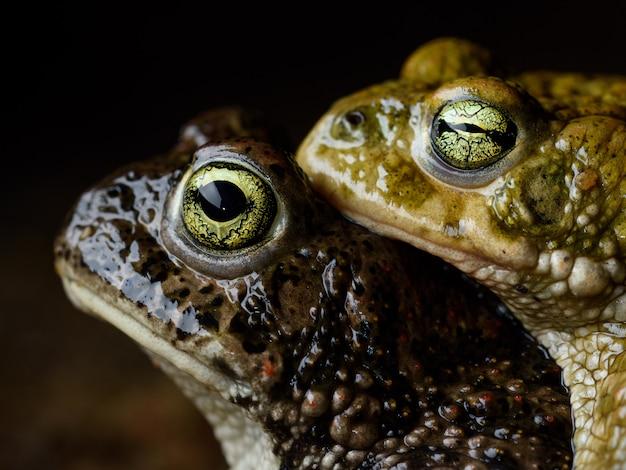 Zwei kreuzkröten (epidalea calamita) in amplexus-reproduktion. Premium Fotos