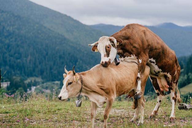 Zwei kühe machen sex in den bergen. | Premium-Foto