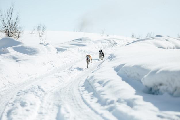 Zwei lustige glückliche sibirische husky dogs, die zusammen im freien in snowy-park bei sunny winter day laufen. Premium Fotos