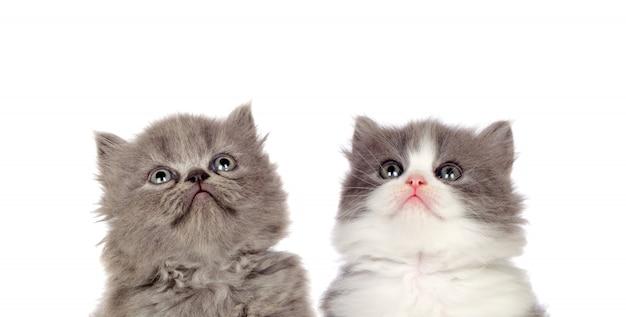 Zwei lustige graue katzen schauen oben auf einem weißen hintergrund lokalisiert Premium Fotos