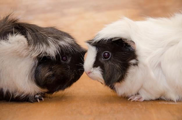 Zwei niedliche abyssinische schwarzweiss-meerschweinchen, die nase an nase berühren Premium Fotos