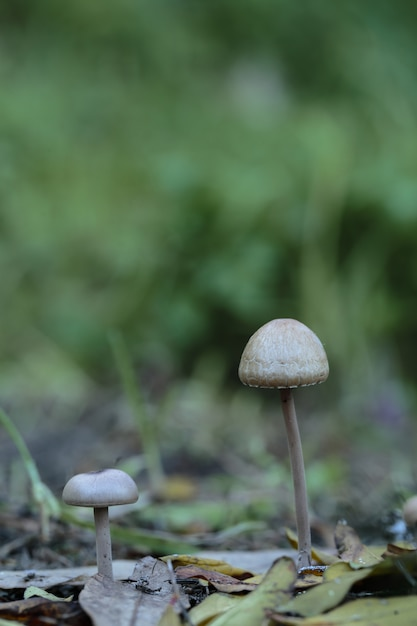 Zwei panaeolus papilionaceus, petticoat mottlegill pilze Kostenlose Fotos
