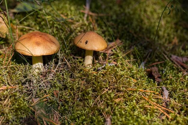 Zwei pilze in einer waldlichtung in den strahlen der sonne im herbst Premium Fotos