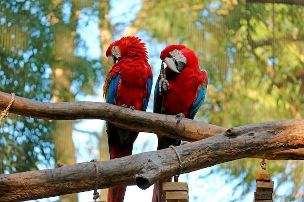 Zwei scharlachrot macaw, der nebeneinander auf dem baum, foz hockt, tun iguacu, brasilien, südamerika Premium Fotos