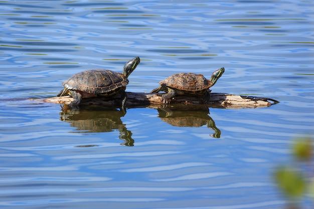 Zwei schildkröten, die auf einem klotz sich aalen Premium Fotos