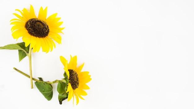 Zwei schöne sonnenblumen auf weißem hintergrund Kostenlose Fotos