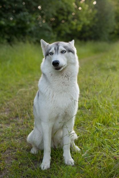 Zwei siberian husky-hunde sehen sich um Premium Fotos