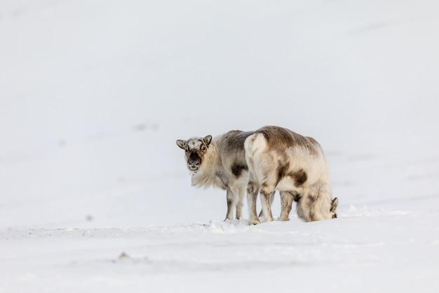 Zwei tiere, die den schnee in der wildnis bei svalbard, norwegen stehen Premium Fotos