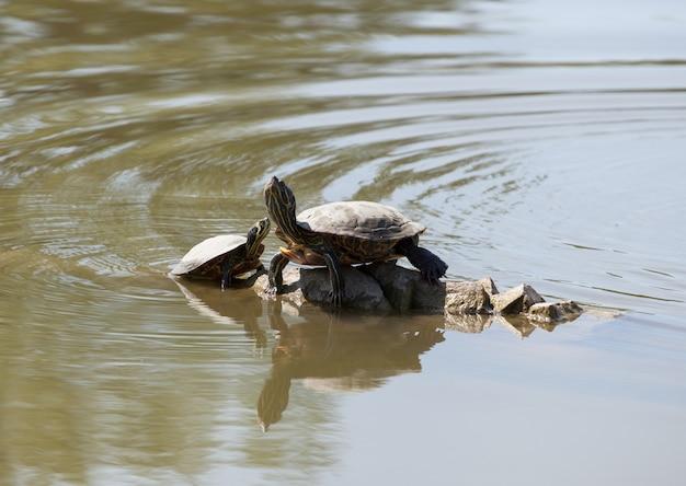 Zwei wasserschildkröten auf dem felsen Premium Fotos