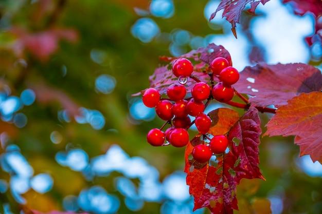 Zweig der roten schneeball im garten nach regen. rote beeren eines viburnum reifen auf einem busch in einem garten. Premium Fotos