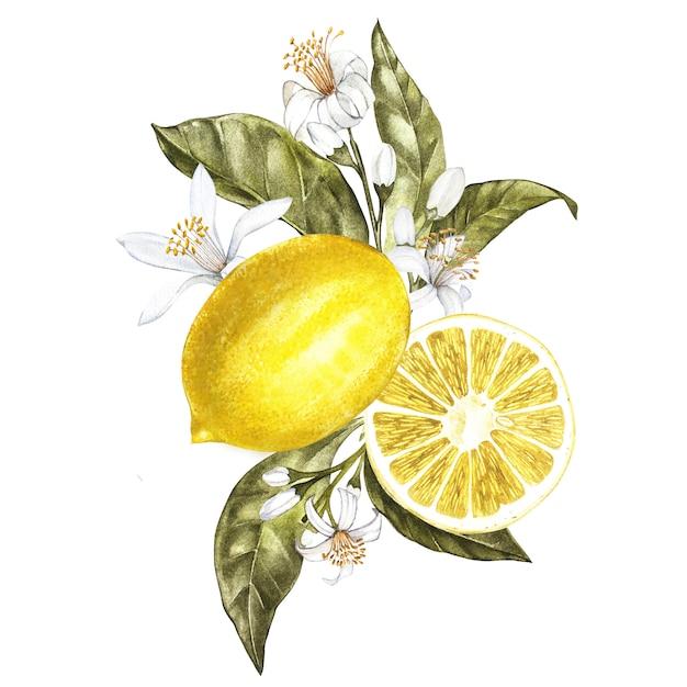 Zweig des aquarellzitronenbaums mit blättern, gelben zitronen und blumen Premium Fotos
