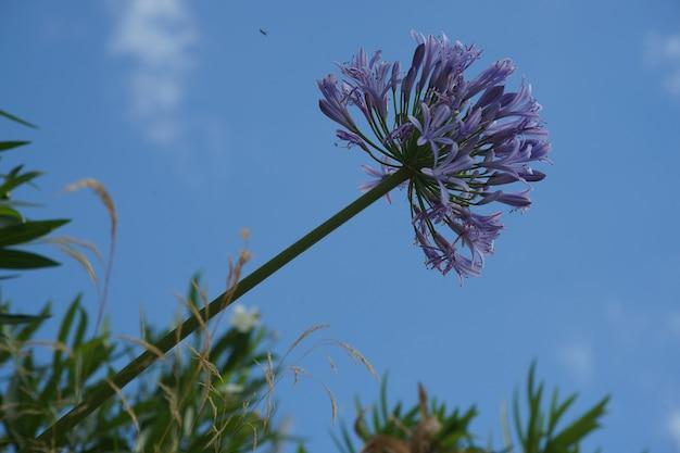 Zweig einer wunderschönen lila lilie des nils mit dem himmel Kostenlose Fotos