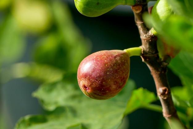 Zweig eines feigenbaums (ficus carica) mit blättern und früchten in verschiedenen stadien der reifung Premium Fotos