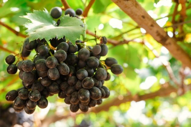 Zweige der rotweintrauben wachsen auf italienischen feldern. nahaufnahme von frischen rotweintrauben in italien. weinbergansicht mit großer roter traube wächst. reife trauben wachsen auf weinfeldern. natürliche weinrebe Kostenlose Fotos