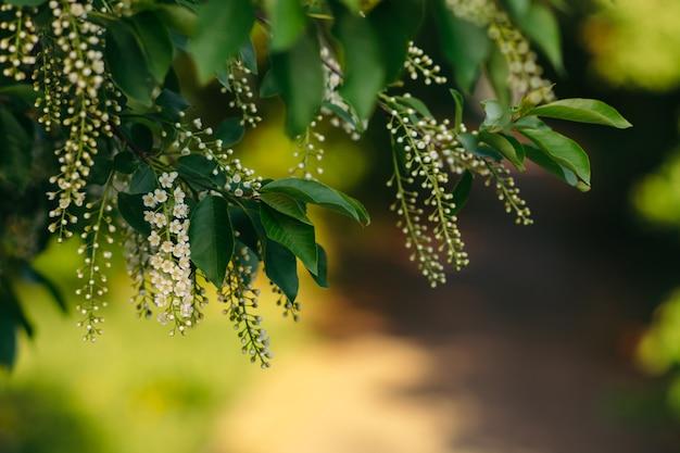 Zweige der traubenkirsche auf unscharfem sonnigem hintergrund. Premium Fotos