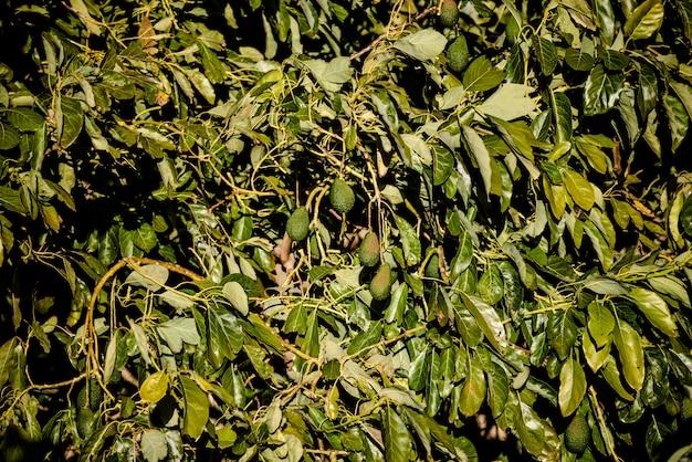 Zweige gefüllt mit hass avocados von rauer haut in einer plantage. Premium Fotos