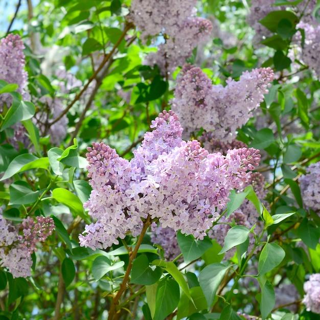 Zweige von lila, lila und grünen blättern. blühender zweig der flieder Premium Fotos