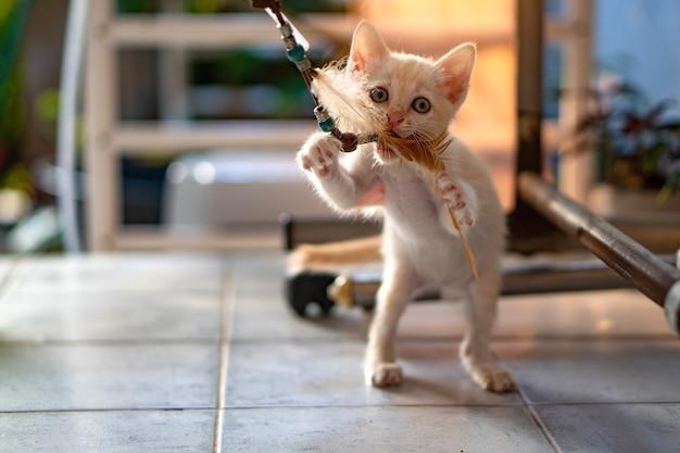1 개월 된 태국 흰 고양이는 오후 햇빛과 함께 실내에서 고양이 장난감을 재생합니다. 프리미엄 사진