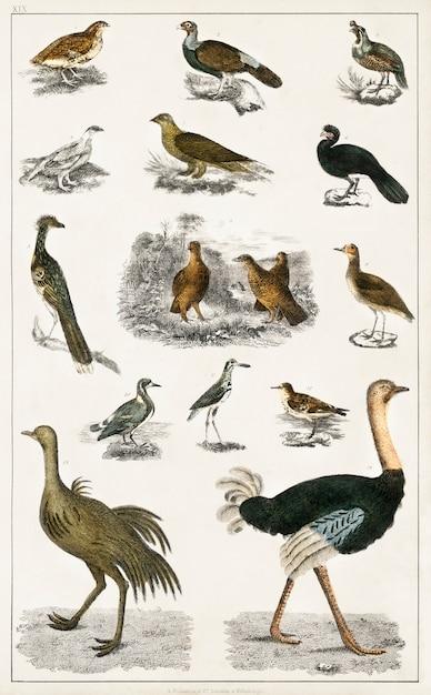 オリバー・ゴールドスミによる地球の歴史とアニメーションの自然(1820年)からのさまざまな鳥のコレクション 無料写真