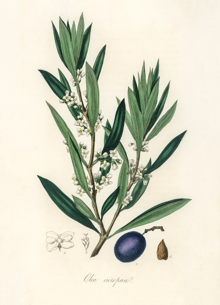 医療植物学(1836年)からのオリーブ(olea europaea)イラスト 無料写真