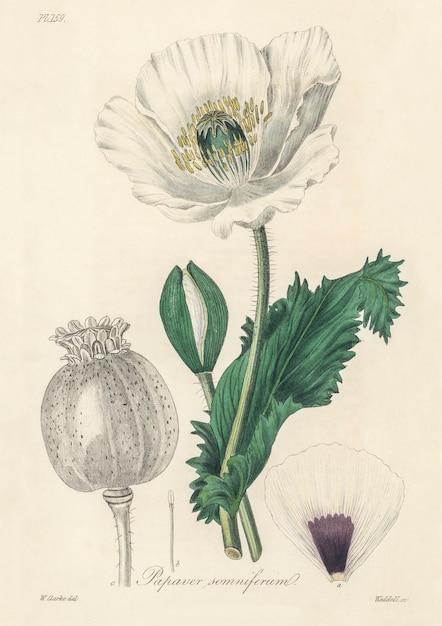 メディカルボタニー(1836)のアヘンポピー(papaver somniferum)イラスト 無料写真