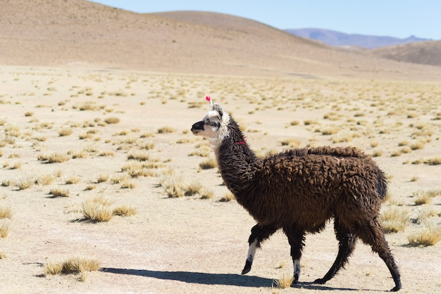 ボリビアのアンデス高原にある1つのラマ Premium写真