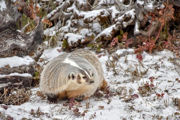 雪の中で北米のアナグマ1 Premium写真
