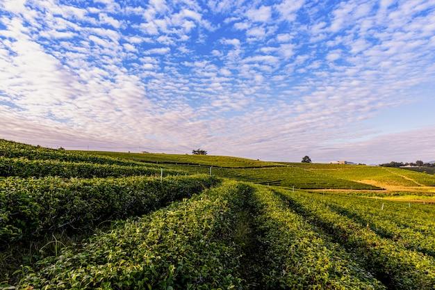 チョイフォン緑茶農園の朝の光は、メーチャン地区の美しい農業観光スポットの1つです。 Premium写真